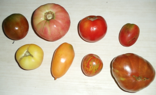 top row, left to right:  Black Prince, Pink Beauty, Ruth's or WI 55 (they look similar), Debarao bottom row,  left to right:  Garden Peach, Orange Banana, Red Zebra, Japanese Trifele Black