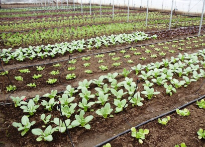 April 8:  The plants are growing happily in the Hoophouse.  Bok choy in the foreground.