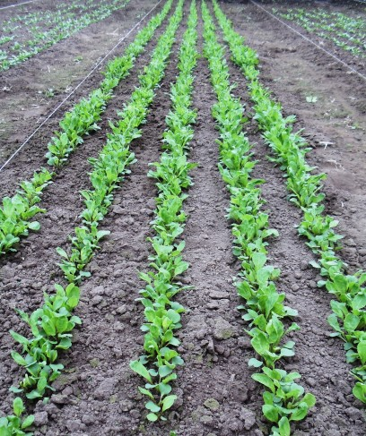 Rows of arugula in the Hoophouse.