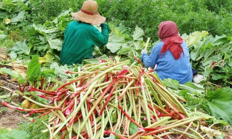 Now that's a pile of rhubarb!