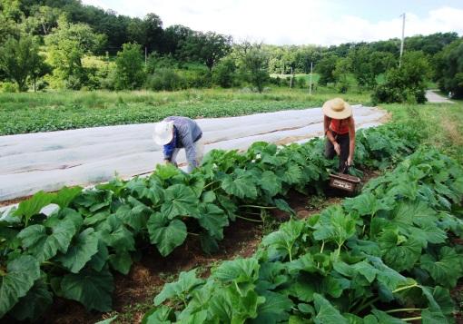 Summer squash harvest.