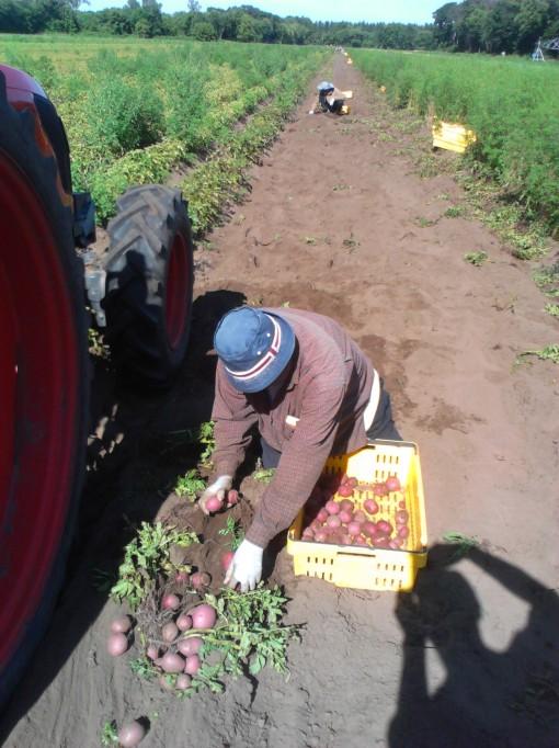 Randy picking up potatoes.