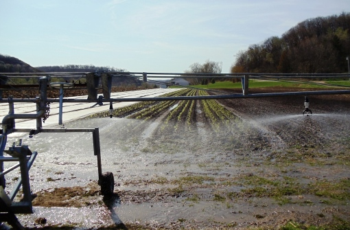 Traveling boom irrigating lettuces in May.  The boom is pulled over the rows of vegetables while gently misting the produce.