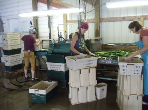 Brush washing cucumbers.  Rozalyn, on the left, feeds the harvested cucumbers onto a conveyor belt.  They roll over soft brushes and get sprayed from above as they pass through the washer unit.  Then out they come onto a rotating round table.  The people standing around the round table (Clara and Ann) check for quality and count the cucumbers into crates (60 per crate, exactly).  The crates get stacked 7 high and moved by hand truck to get weighed; then recorded onto a spread sheet.  This is the same process we use for summer squash, eggplant, tomatoes and peppers.