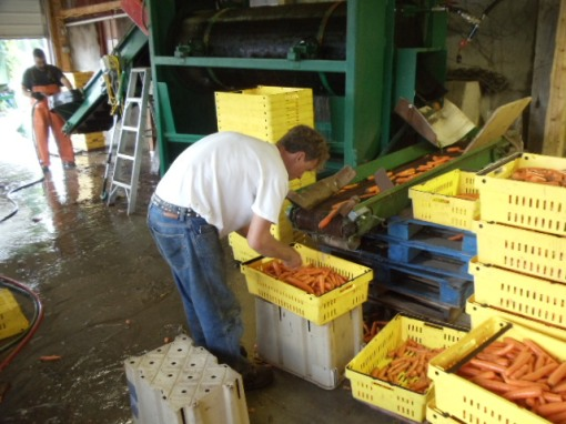 Washing carrots in a barrel washer.  Chris, at the far left, dumps crates of carrots onto a conveyor belt which carries them into the barrel washer.  Water is sprayed onto the carrots as the barrel turns.  The clean carrots exit through a chute and move on another conveyor to a waiting crate.  Brian inspects the carrots and then stacks the full crates of carrots.  Each full stact is hand-trucked to the scale where the weight is recorded.  Thye move into a 34 degree cooler until they are bagged.