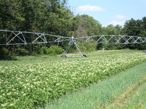 Center Pivot irrigating potatoes.