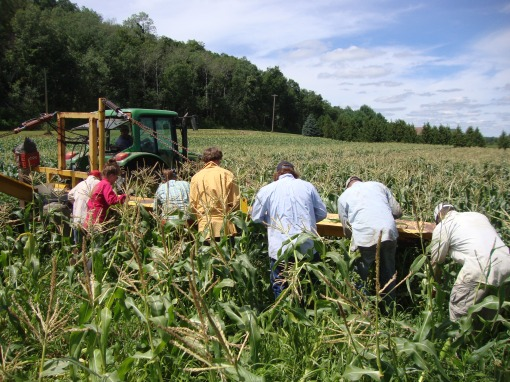 Look at that sea of sweet corn!  The Monday afternoon crew walks behind 'The Veg-Veyor', through the corn field, harvesting ears of corn.