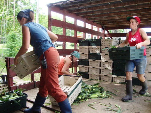 Back at the packing shed the wagon gets unloaded by Elizabeth, Clara and Leah and the corn gets moved into coolers.
