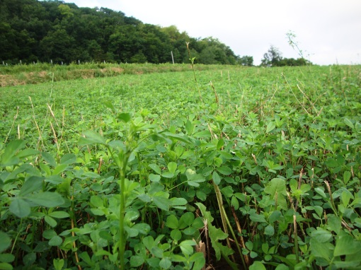 An alfalfa field close-up.  This alfalfa was planted last August.