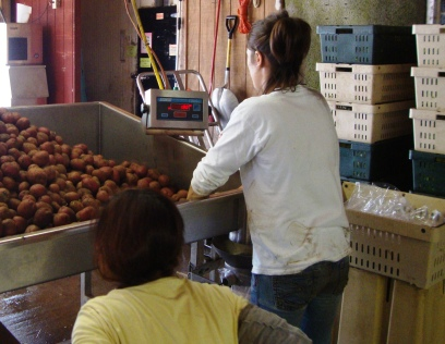 A look at the bagging scale from the bagger's perspective.  The full bags of potatoes are placed into crates.
