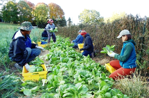 Elisabeth and the Cambodian crew harvesting bok choy