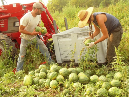 Jesse and Clara picking up the melons from piles and counting every single one as they set them into the bulk bin!