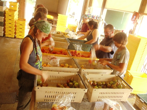 Tomato bagging.  We are approaching the end of the tomatoes so enjoy this weeks bounty!
