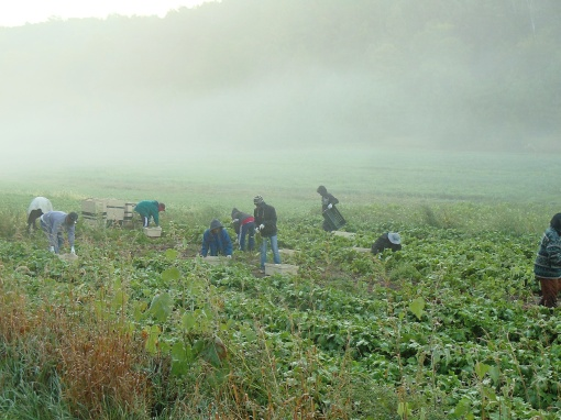 Chioggia beet harvest at 7:00 am Monday.  The mornings in our valley are full of fog and mist.
