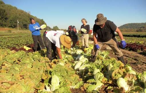 Chinese cabbage harvest Tuesday morning.