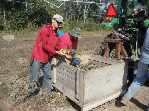 Wednesday afternoon squash harvest; pictured is acorn squash being picked up.  We load the squash into bins, load the bins onto a trailer and haul it to the shed where it is stored.