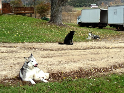 The farm dogs taking a break from chasing deer out of the fields.  From left, Nasta, Obi, and Shanna.  Nasta is Jesse and Jonnah's dog, Obi is Becky and Brian's dog, and Shanna lives on the farm.