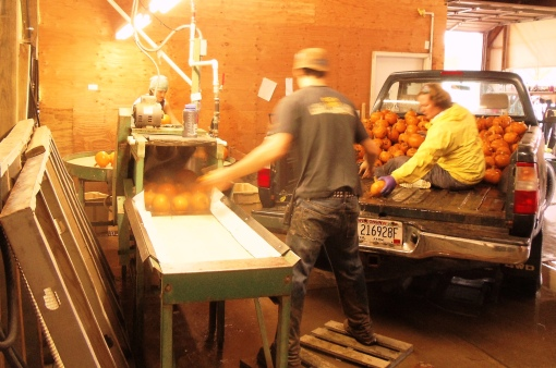Then we bring the pumpkins to the packing shed, back the truck right in and unload them into the brush washer.  Looks as if the crew could go through the washer too.