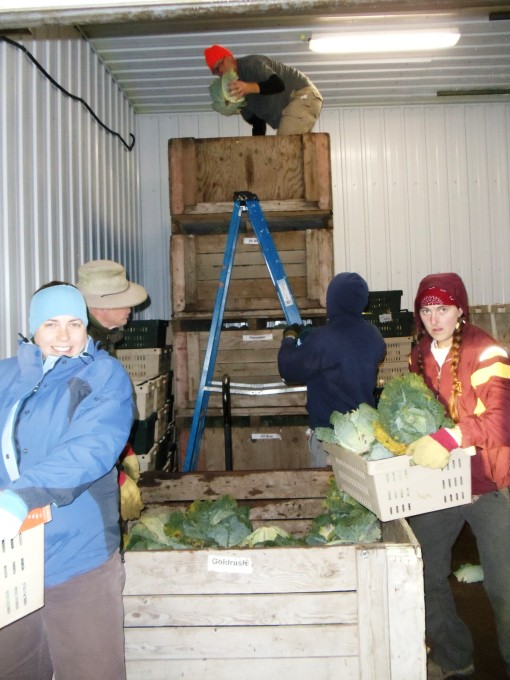 The fork lift broke so Jeff climbed up and tossed cabbages down for a couple of hours.