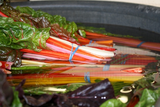 Swiss Chard cooling in a tub of water.