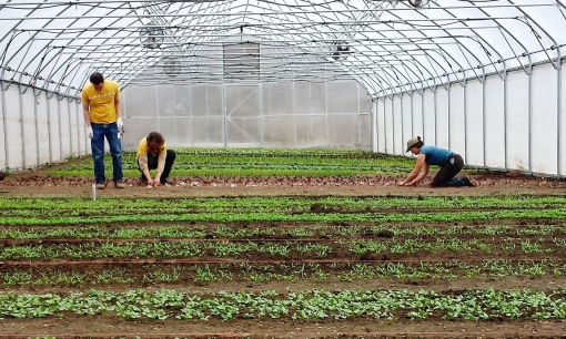 Eric, Brian and Elisabeth planting lettuce heads into the hoophouse.