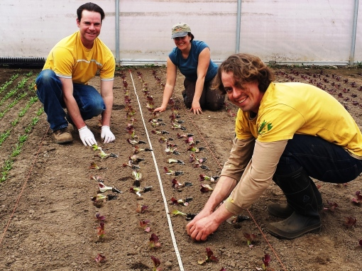 Eric, Elisabeth and Brian transplanting lettuce heads.  Notice the tape measure running down the center of the bed. We are very exact about the spacing in these houses.  We only have a finite amount of space, everything has to be exact.