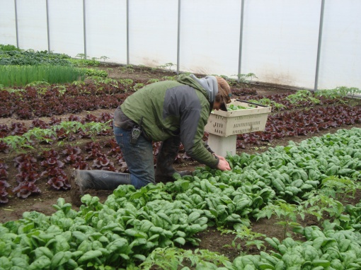 Notice the rows of tomato plants towering over the spinach and lettuce. Oh yes, and Brian is harvesting spinach, one leaf at a time. We pinch off the largest leaves and let the smaller ones grow big for the following week's harvest.