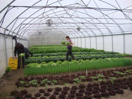 Brian, Barb and Elisabeth harvesting lettuce heads.