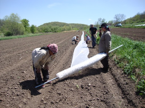 Laying row cover over zucchini plants. Sid and Ohn walk with the roll of row cover while Eric, Brian and Dee follow behind putting plastic pins in the ground to hold it down. We will also row cover eggplant, cucumbers, melon and winter squash. It's a big job laying all of that row cover, miles and miles of it get walked out. And then of course we have to remove it in about a month. It's summer!