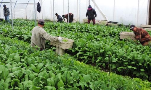 Harvesting salad mix and turnips. Yun, Ching, Weng, Sid, De and Phal.