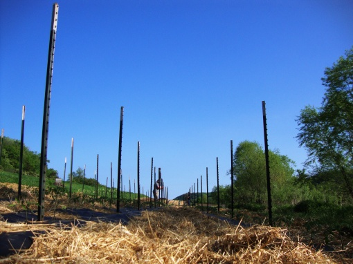These posts, carefully pounded in so as not to puncture the irrigation tape beneath the plastic mulch, will soon have row after row of trellising twine wrapped around them to hold up the tomatoes as they grow.