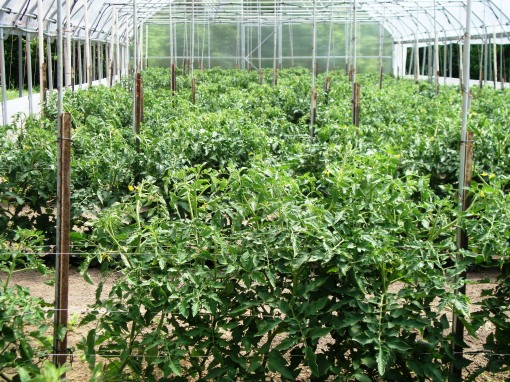 In the hoophouse the tomatoes are already sizing up. They have been in the ground since April.