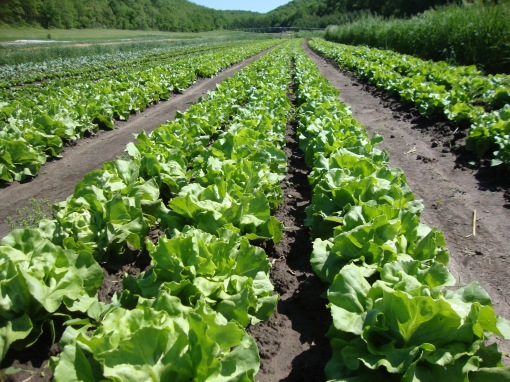 Lettuce heads, soon to be harvested. At the end of the garden is irrigation. It travels through the garden when necessary.
