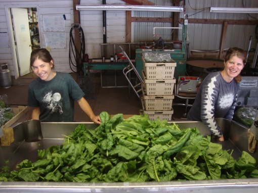 Bagging spinach in the packing shed