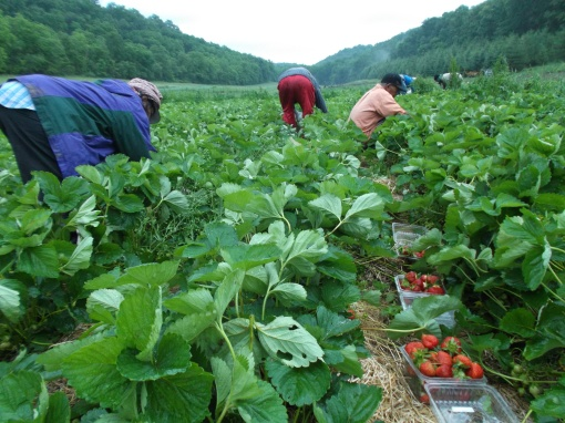 Wednesday, 5:45 a.m., harvesting strawberries.  (Note: The harvest just began. Everybody will get strawberries within the next couple of weeks).
