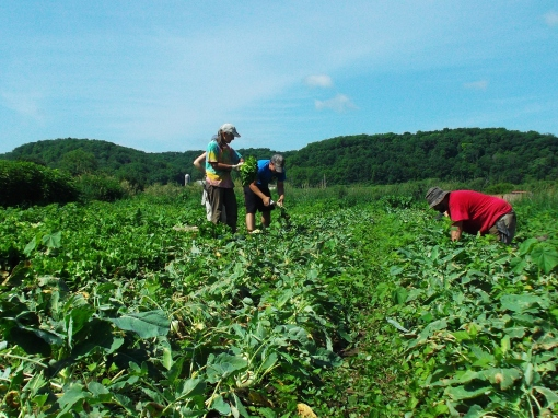 Harvesting escarole and kohlrabi. (Barb, Tom and Chris)