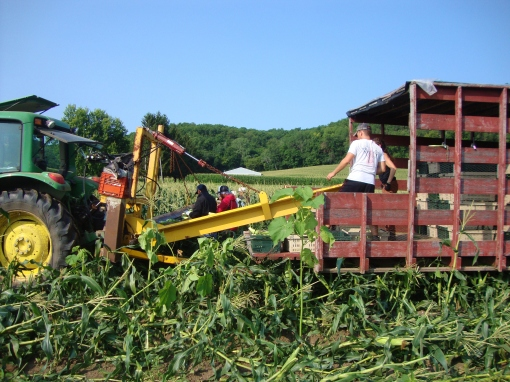 When we harvest sweet corn we use a tractor, a Veg-Vayer (the conveyor belt) and a wagon. Each person on the ground is assigned a row of corn. They walk behind the Veg-Vayer picking an ear of corn from each corn plant and placing it on the conveyor. The pickers have to keep up with the pace set by the tractor (please don't drive too fast, Jesse!). The corn travels up the conveyor into a waiting wagon where two people count the ears while putting them into crates. Each crate has the same number of ears counted into it so we know how much corn we have harvested and how many ears we can put into each CSA box.