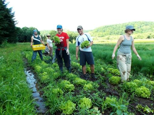 Tuesday morning lettuce harvest. The lettuce garden is pretty muddy.