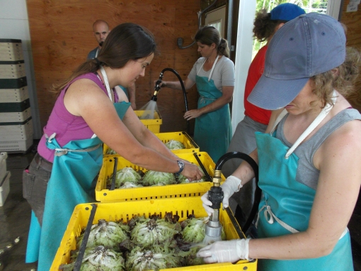 Washing lettuce heads. Spraying the root end of the head is the first step. Then the heads are dipped into a tub of water.