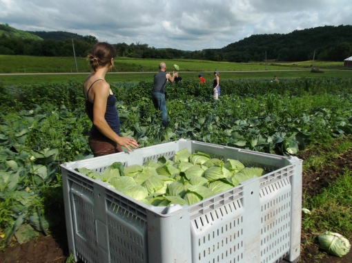 Cabbage harvest on Tuesday morning. This first cabbage is a summer cabbage with thin, crisp leaves. The cabbages we deliver later in the season have thicker leaves and good storage cabbages.