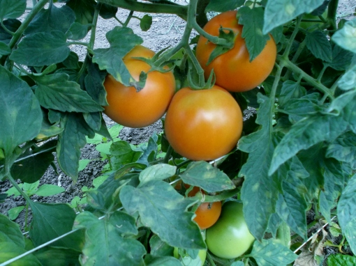 Peering at ripening tomatoes in the hoophouse.