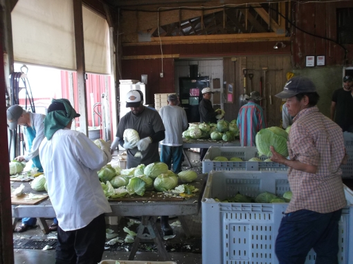 After the cabbage is harvested we clean it in the packing shed.