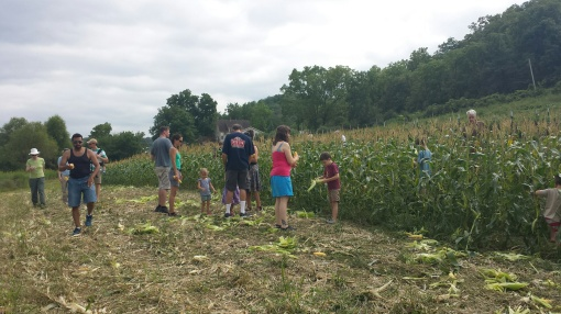 CSA members harvesting sweet corn.