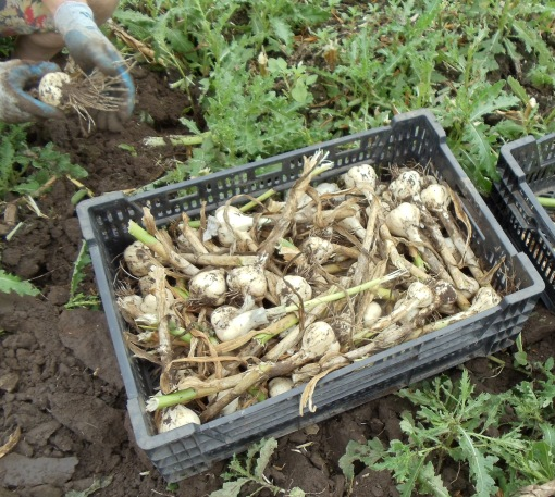 A crate of freshly harvest garlic.