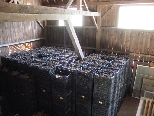 We stack crates of garlic in the upper level of our dairy barn - the space that was originally used for stored hay. We put fans on the garlic to help it dry; this facilitates the curing process.