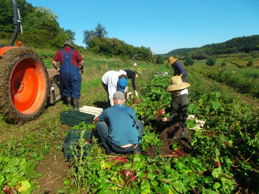 Harvesting Chioggia beets. These beets will go into the storage share.