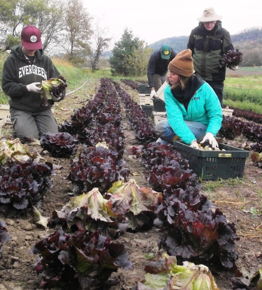 Red lettuce harvest. The lettuce is cut and cleaned in the field. When we get back to the packing shed we spray the root end and dip the entire head in a tub of cold water.