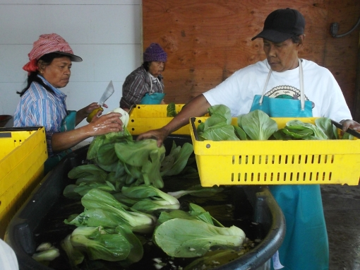 Washing bok choy. The bok choy is cut and brought back to the packing shed. As the heads are placed in the tub of water we clean off any undesirable leaves and rub the head clean. A most tedious process.