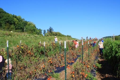Vermont Valley Tomato U Pick
