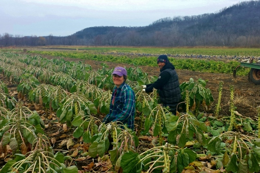 Elisabeth and Tonny harvesting brussels sprouts last week; getting them harvested before the temperatures plunged and the plants froze.  This is our fall garden which also includes cabbage, kale, collards, daikon and ruby heart radishes and celeriac.